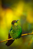 Coppery-headed Emerald, Elvira cupreiceps, beautiful hummingbird from, green bird, scene in tropical forest, animal in the nature Royalty Free Stock Images