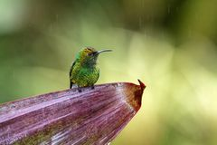 Coppery-headed emerald Elvira cupreiceps sitting on flower, bird from mountain tropical forest, Waterfalls garden, Costa Rica. Bird perching on flower, enough royalty free stock images