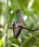 Coppery-headed Emerald Hummingbird Stock Images