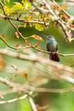 Coppery-headed Emerald sitting on branch, bird from mountain tropical forest, Costa Rica, bird perching on branch, tiny beautiful. Hummingbird in natural royalty free stock photo