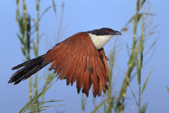 Coppery-tailed Coucal Stock Photos