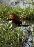 Coppery Tailed Coucal in flight Royalty Free Stock Photos
