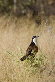 Coppery-tailed Coucal in Grass Royalty Free Stock Images