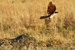Taking Off Coppery-tailed Coucal Stock Images