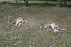 Coppia i canguri che mettono sulla terra immagini stock