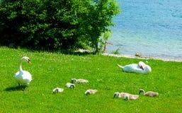 Coppia i cigni con la prole sul prato verde sulla riva del lago fotografia stock libera da diritti
