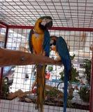 Coppia i pappagalli in gabbia immagini stock