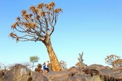 Coppia il deserto del Kalahari dell'albero del fremito, Keetmanshoop, Namibia immagine stock libera da diritti