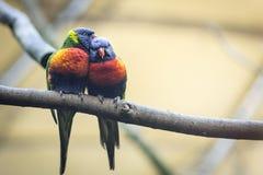 Coppia l'amante dei pappagalli o dei lorikeets selvaggi dell'arcobaleno immagini stock libere da diritti