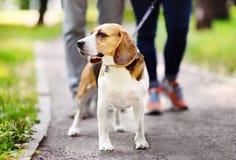 Coppia la camminata con il cane del cane da lepre che dura in collare e guinzaglio nel parco dell'estate fotografia stock
