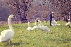 Coppia la camminata in un parco circondato dai cigni Fotografie Stock Libere da Diritti