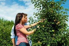 Coppia la raccolta delle mele in estate Immagine Stock