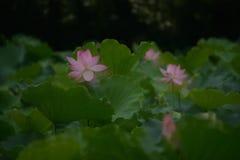 Coppia Lily Lotus rosa con la foglia verde fotografie stock libere da diritti