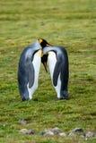 Coppia re Penguins che partecipa ad un rituale legante, stando alto affrontandosi, diretto il riposo insieme, sul Sa erboso fotografie stock