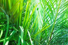 Coppice of Palm Trees with Long Dangling Spiky Leaves Forming a Natural Pattern. Exotic Tropical Plants. Bright Sunlight Highlight stock photos