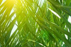 Coppice of Palm Trees with Long Dangling Spiky Leaves Forming a Natural Pattern. Golden Sunlight Rays. Botanical Tropical Foliage stock photography