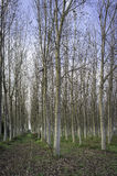 Coppice of poplars in the early fall. Color Image Royalty Free Stock Image