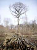 Coppice woodland with logs Stock Photos