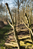 Coppiced-Holz gestapelt im Woodpile Stockfotos
