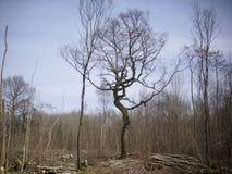 Coppiced woodland Stock Photos
