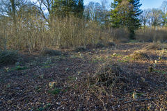 Coppicing in Oxfordshire Woodland during spring time Royalty Free Stock Images