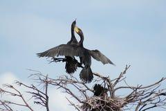 Coppie accoppiamento di Cormorans Fotografia Stock Libera da Diritti