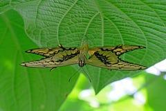 Coppie accoppiamento le farfalle di Machaon, coda di rondine, machaon di papilio Fotografia Stock Libera da Diritti