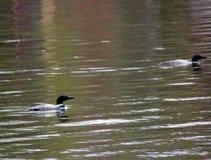 Coppie accoppiate i lunatici comuni sul lago del legno fotografie stock