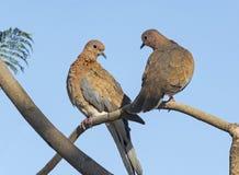 Coppie accoppiate le colombe di risata immagine stock