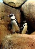 Coppie africane dei pinguini Immagini Stock Libere da Diritti