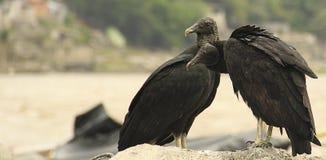Coppie americane dell'avvoltoio nero fotografie stock libere da diritti