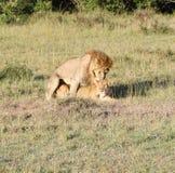 Coppie amorose del leone nel Kenia Fotografie Stock Libere da Diritti