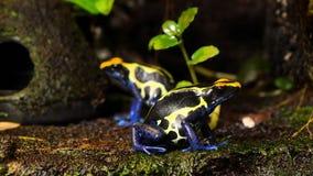 Coppie blu e gialle della rana del dardo del veleno archivi video