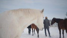 Coppie che camminano con i cavalli all'aperto su un ranch del paese nell'inverno Cavalli principali della donna e dell'uomo video d archivio