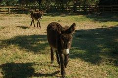 Coppie degli asini piacevoli che trottano su un recinto per bestiame immagine stock libera da diritti