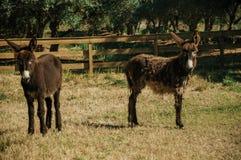 Coppie degli asini piacevoli che trottano su un recinto per bestiame fotografia stock