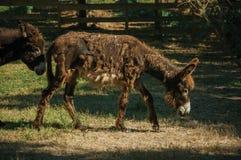 Coppie degli asini piacevoli che trottano su un recinto per bestiame immagini stock libere da diritti