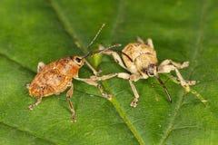 Coppie degli scarabei di muso Immagini Stock