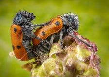 Coppie degli scarabei rossi delle coccinelle facendo sesso con il fondo verde fotografia stock