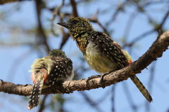 Coppie degli uccelli in Africa Fotografia Stock Libera da Diritti