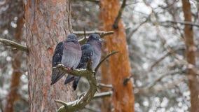 Coppie degli uccelli soli su un ramo Immagini Stock Libere da Diritti