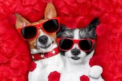 Coppie dei biglietti di S. Valentino dei cani nell'amore Fotografia Stock Libera da Diritti