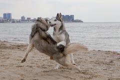 Coppie dei cani del husky che giocano sulla spiaggia immagine stock