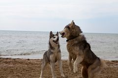 Coppie dei cani del husky che giocano sulla spiaggia Fotografia Stock
