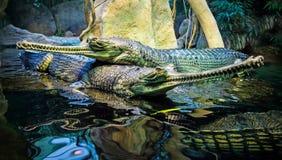 Coppie dei coccodrilli Fotografia Stock