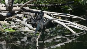 Coppie dei cormorani stock footage