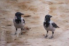 Coppie dei corvi incappucciati Fotografia Stock