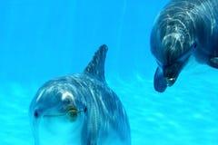Coppie dei delfini Fotografie Stock Libere da Diritti