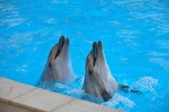 Coppie dei delfini Immagini Stock Libere da Diritti