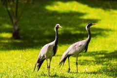 Coppie dei egrets in natura Fotografia Stock